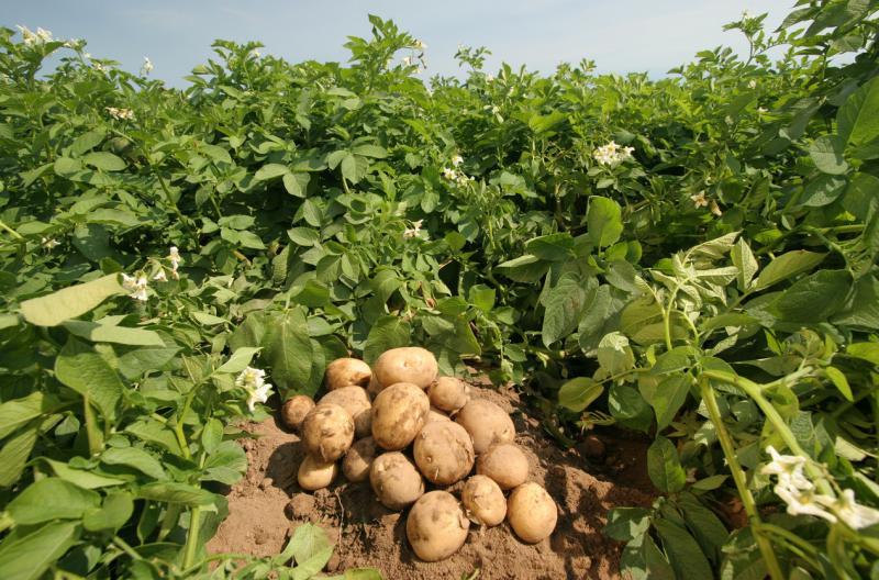 Почему гниет картошка в земле: от дождей, причины, что делать?