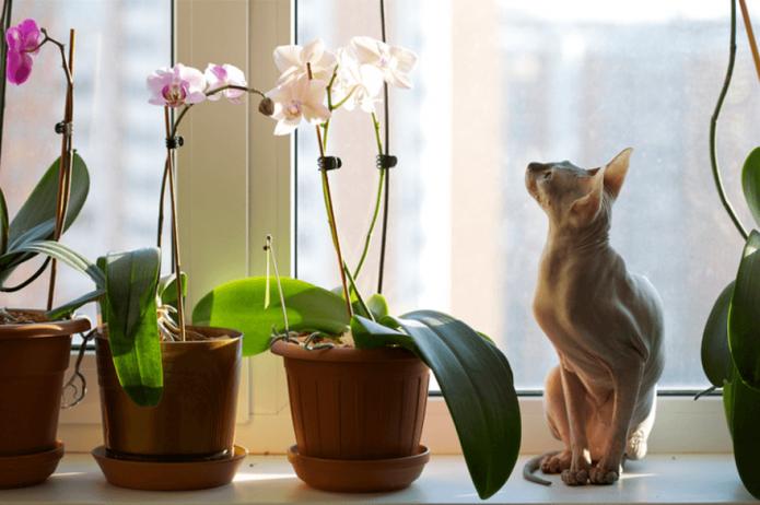 Кот и фаленопсисы