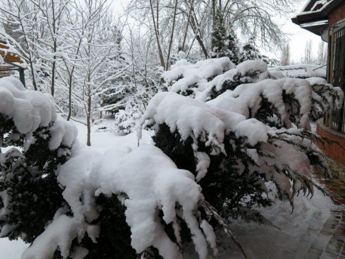 Можжевельник под снегом