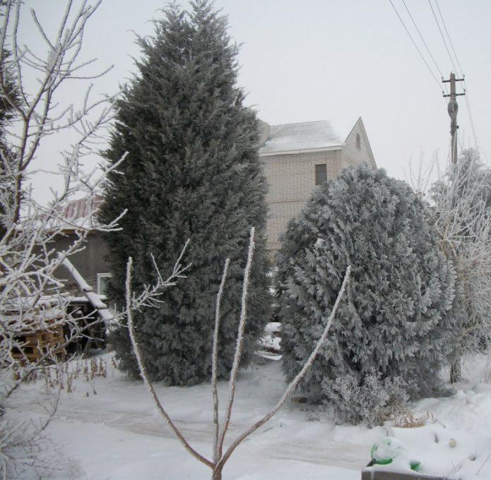 Взрослый можжевельник зимой