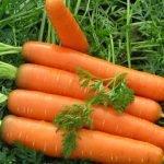 Морковь сорта Несравненная