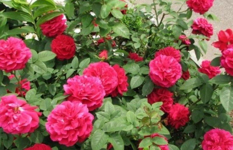 Роза, привитая на шиповник