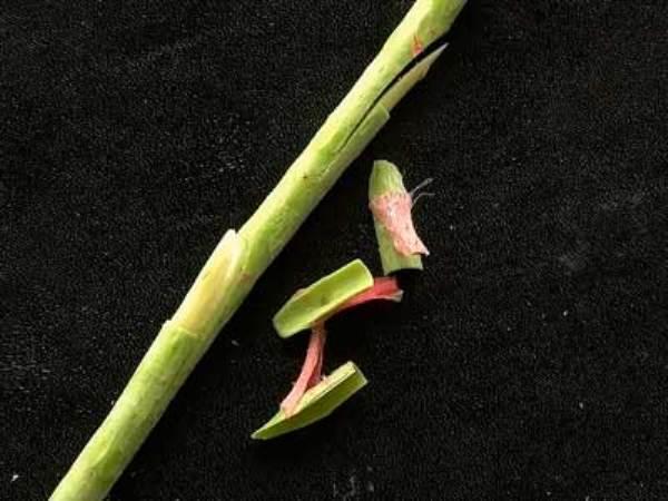 Черенок розы вместе со срезанными щитками