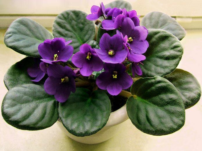 Фиолетовая фиалка