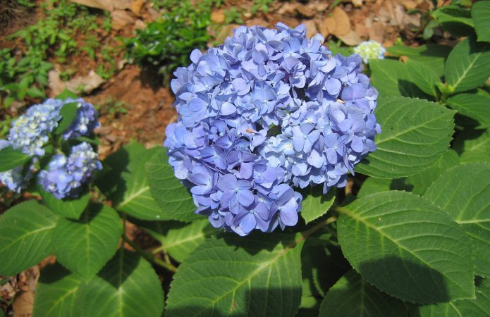 Гортензия крупнолистная голубая