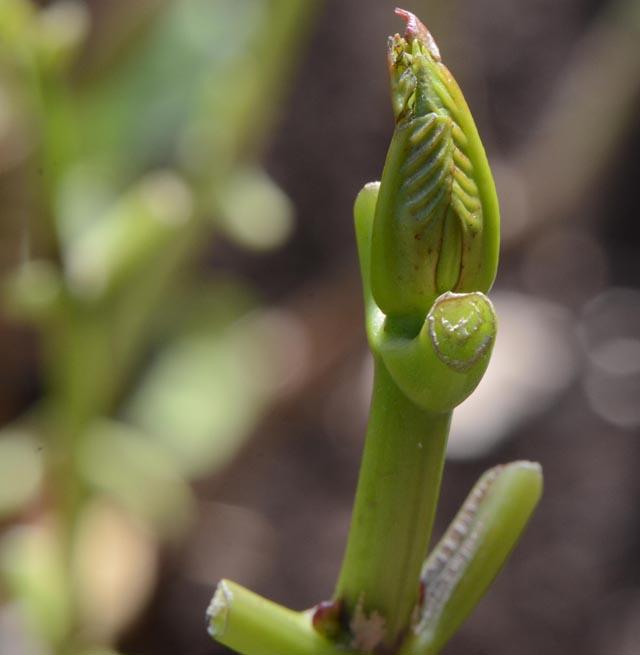 Обрезка листьев гортензии