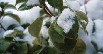 Яблоня зимой с листьями