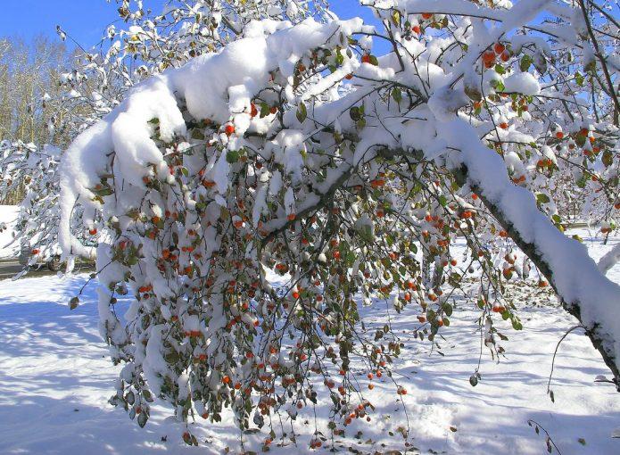 Снег на яблоне
