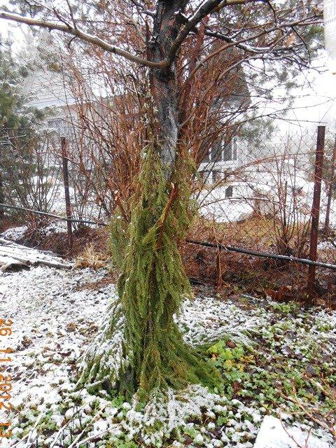 Утепление деревьев лапником