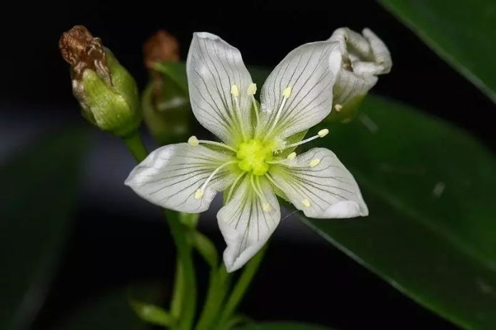 Цветок мухоловки