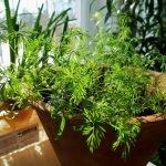 Выращивание на балконе зелени