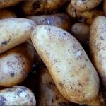 Белорусский картофель Атлант