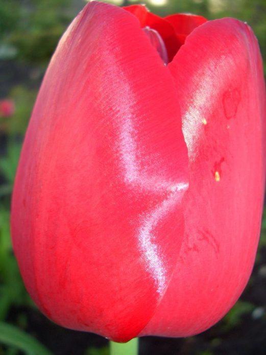 Тюльпан сорта Парад Рекорд