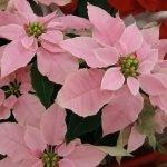 Пуансеттия с бледно-розовыми прицветниками