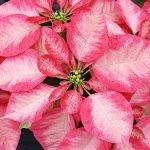 Пуансеттия розовая