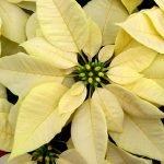 Пуансеттия с бледно-жёлтыми прицветниками