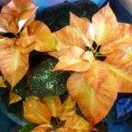 Пуансеттия оранжевая
