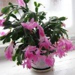 Шлюмбергера с розовыми цветами