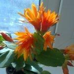 Шлюмбергера с оранжевыми цветами