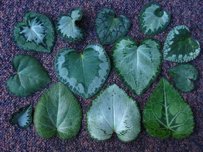 Листья цикламена