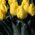 Кикомачи тюльпан