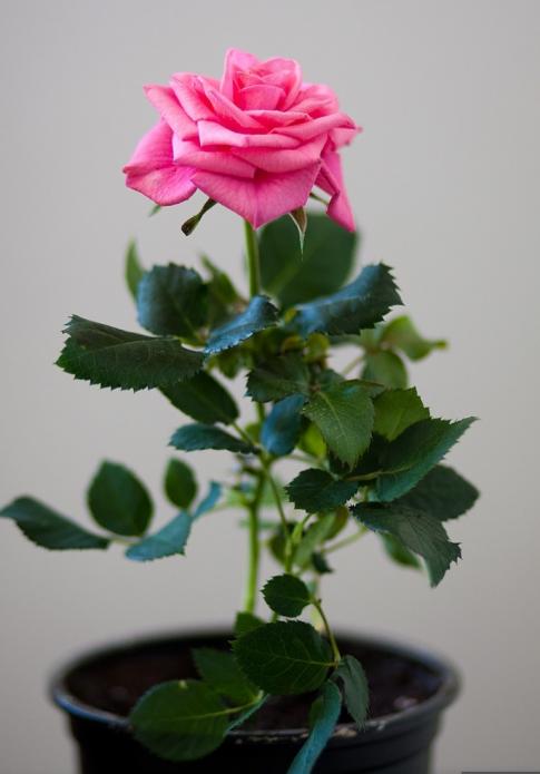 Роза дома