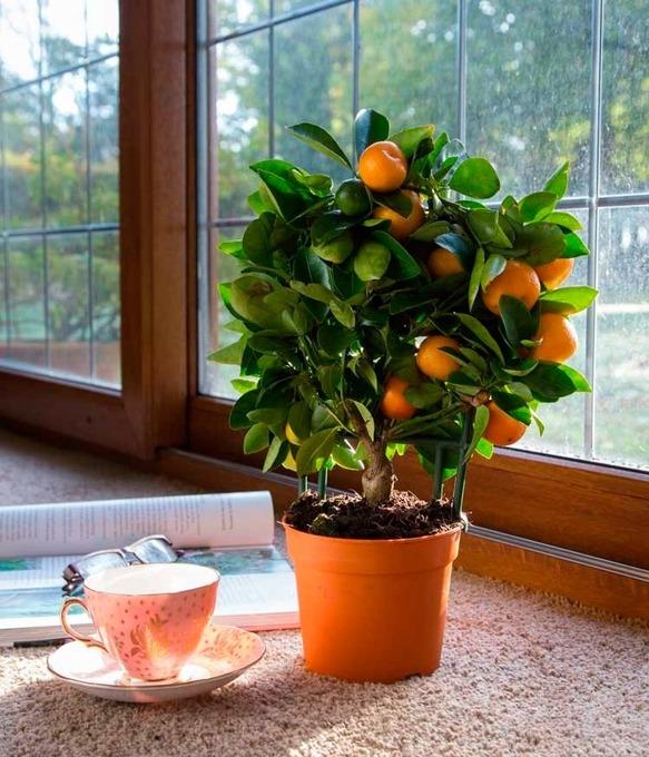 Цитрусовое дерево дома