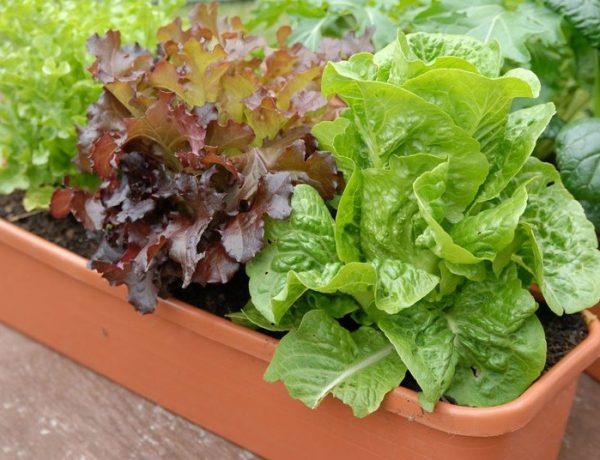 Салат на подоконнике: как вырастить его зимой в квартире