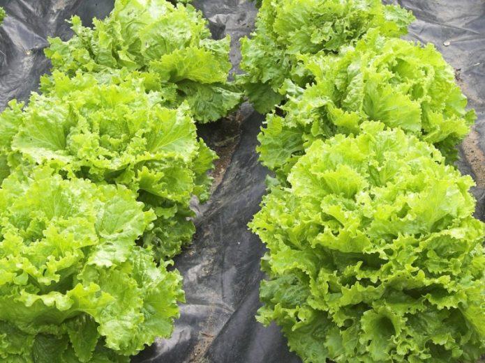 Салат фриллис как выращивать