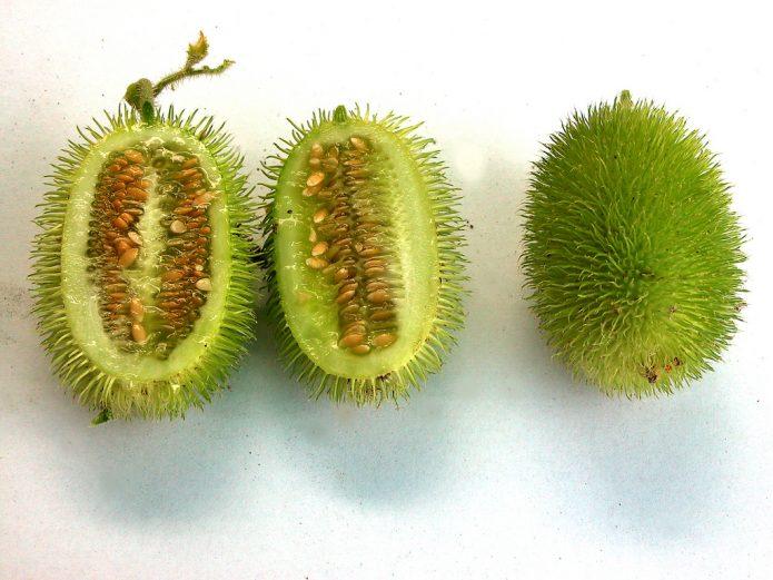 Cucumis anguria