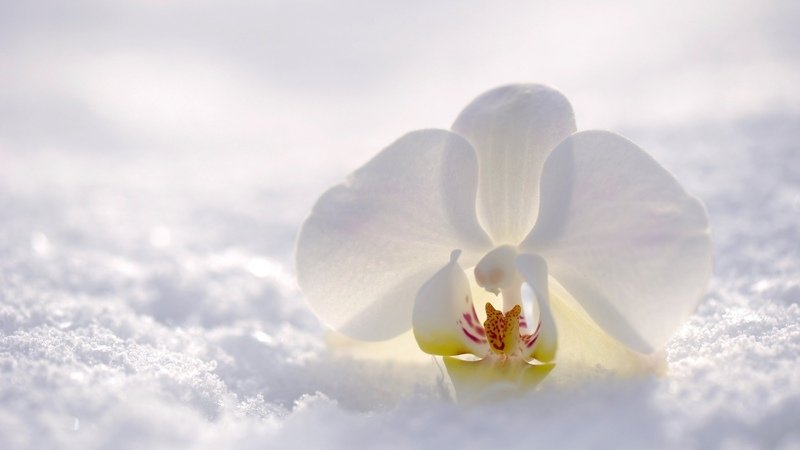 Цветок орхидеи на снегу