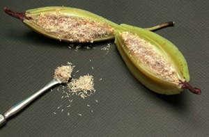 Плод орхидеи