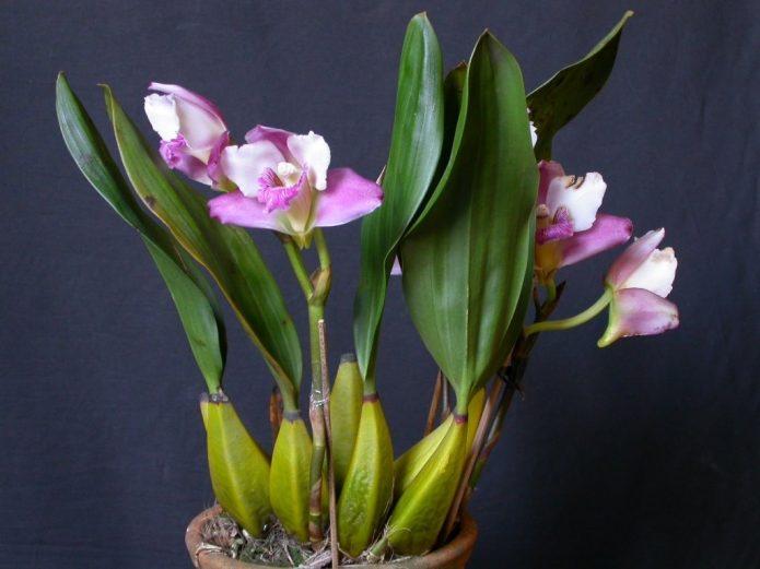 Псевдобульбы орхидеи