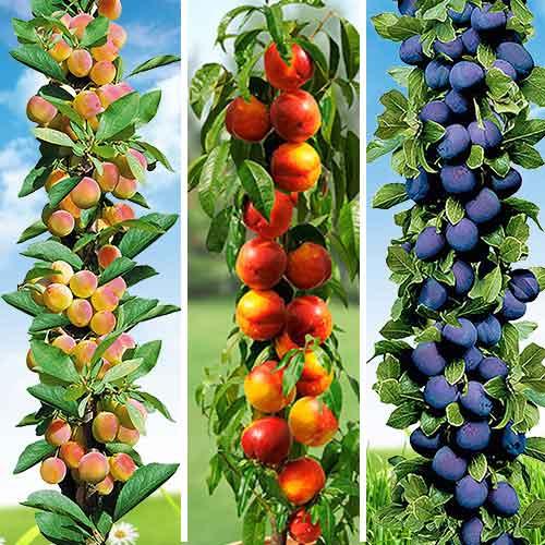 Колоновидные плодовые деревья