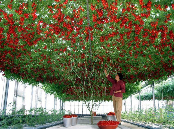 Томатное дерево