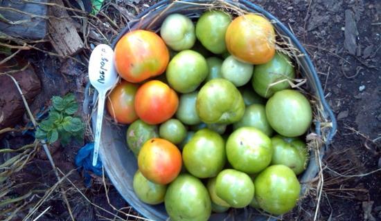 Урожай Лабрадора с 1 куста