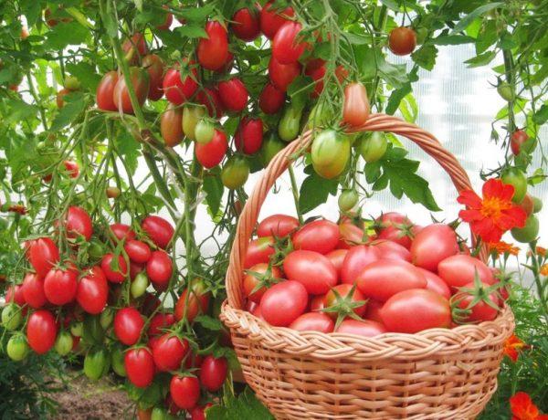 Сорта томатов, которые не нужно пасынковать