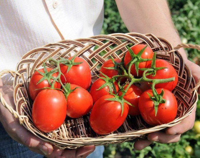 Плоды томата Бенито