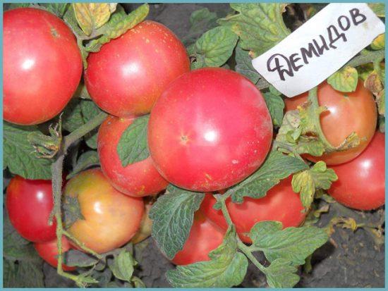 Томаты Демидов с плодами