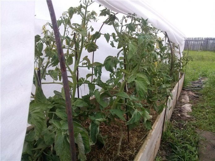 Выращивание томатов с применением агротехники природного земледелия