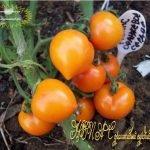 Семена томатов Непас 4
