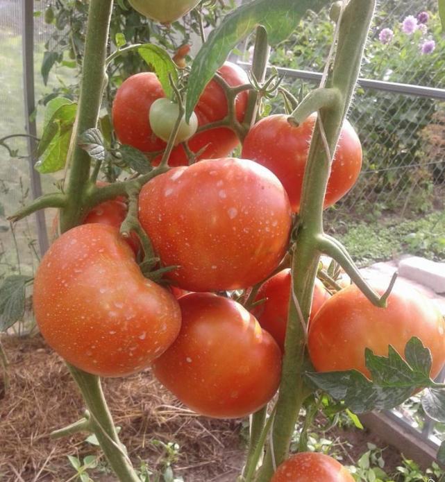 Плоды томата Алтайский шедевр на кусте