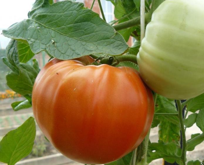 Плоды томатов Алтайский шедевр