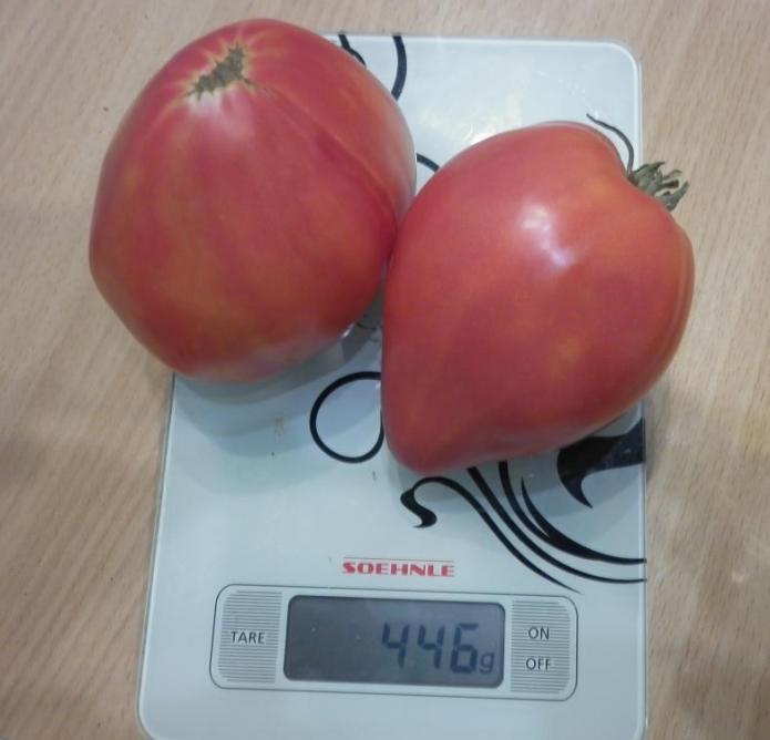 Плоды томата Абаканский розовый на весах
