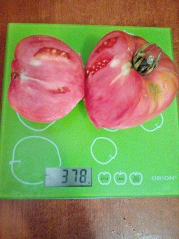Томат Абаканский розовый в разрезе на весах