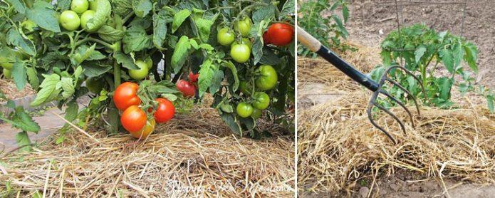 Коллаж: мульчирование томатов