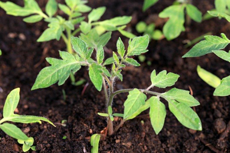 Когда сажать семена помидоров на рассаду по лунному календарю в 2019 году? Правила посева и выращивания рассады
