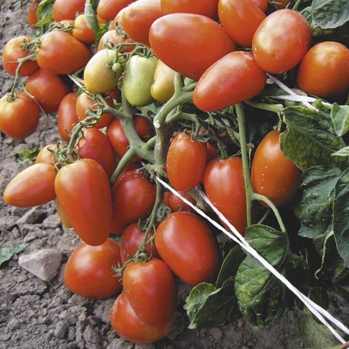 Плоды томата Валентина