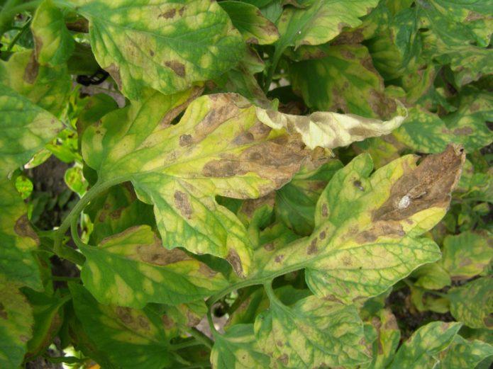 Листья томатов, поражённые кладоспориозом