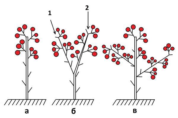 Схема формирования детерминантных томатов